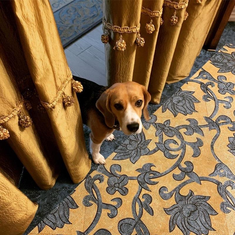 Екатерина Рождественская – собака бигль Мацуо Басе